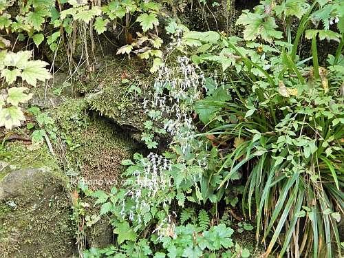 Saxifraga cortusifolia