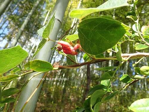 Rhynchosia volubilis