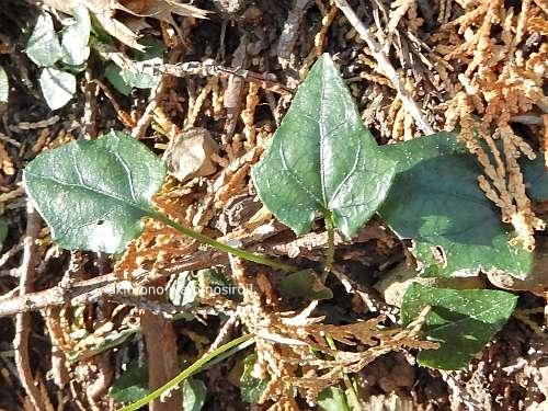 Ainsliaea apiculata