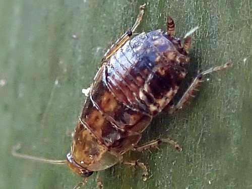 ヒメクロゴキブリの幼虫