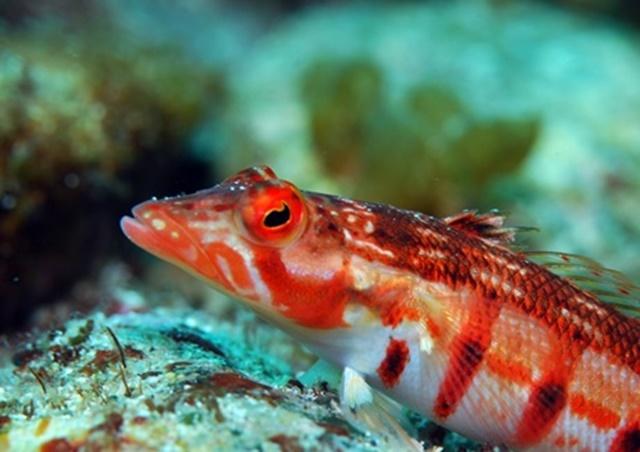 サンゴトラギス20200315web