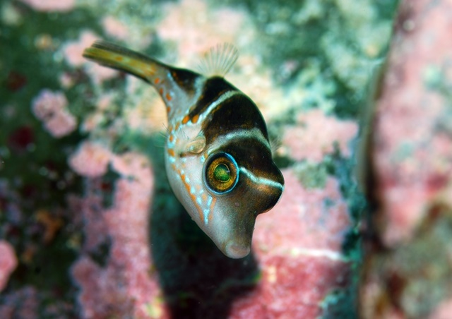 ハナキンチャクフグ幼魚20200404web