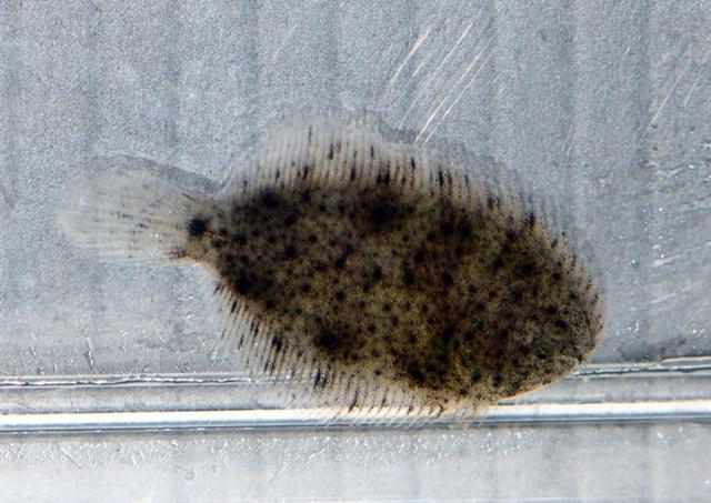 北米淡水カレイweb