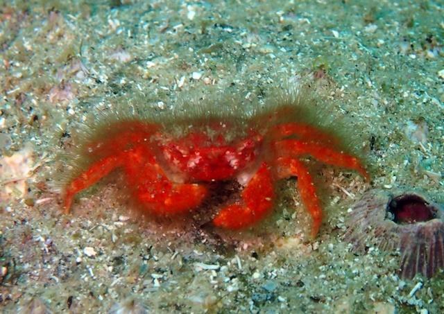 赤くて毛深いカニ202006072web