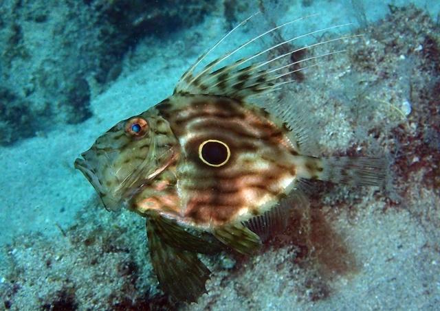 マトウダイ幼魚20200614web