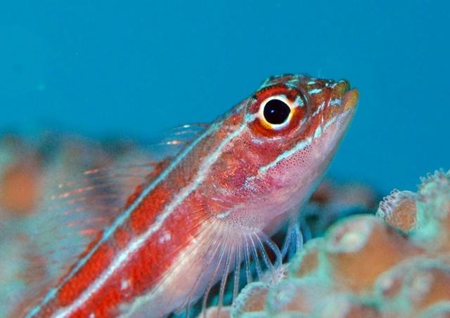 タテジマヘビギンポ20200627web
