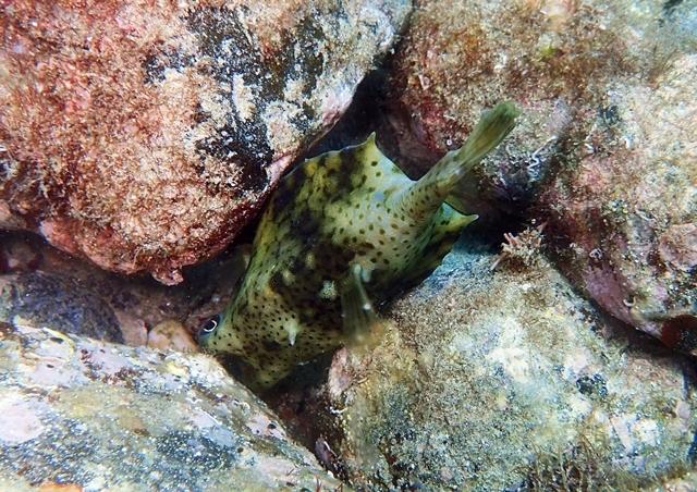 岩に挟まってたウミスズメ20200705