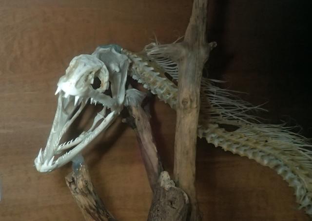 ウツボ骨格標本