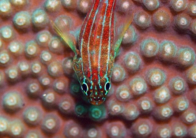 タテジマヘビギンポ20200801web
