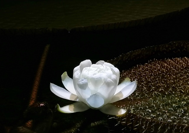 オオオニバスの花web