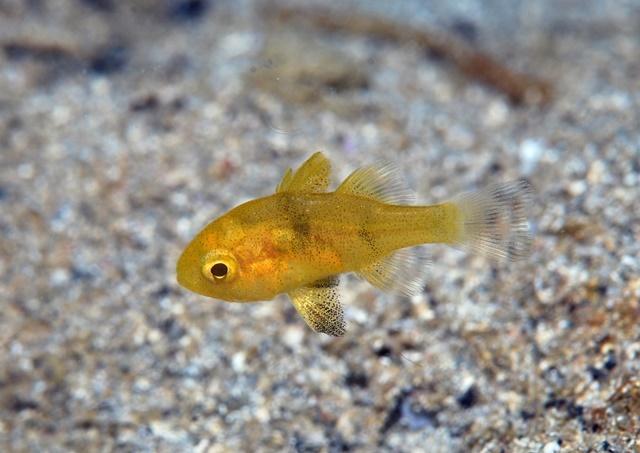 クロイシモチ幼魚20200912web