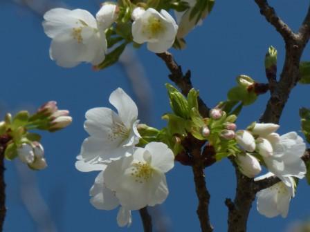 大島桜 2