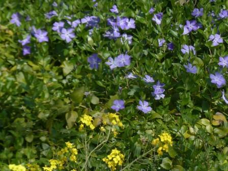 菜の花とツルニチニチソウ