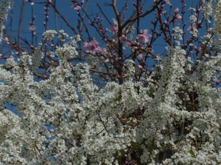 ユキヤナギ と 桜の仲間