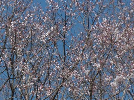 ひょうたん桜 (エドヒガン) 3