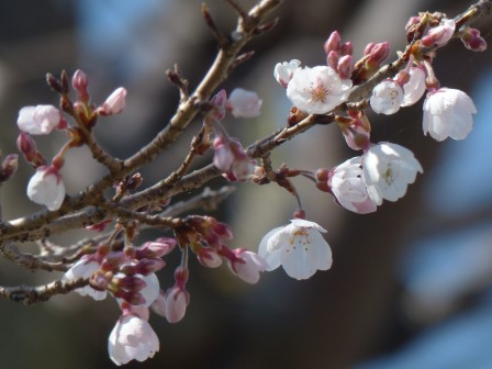 ひょうたん桜 (エドヒガン) 1