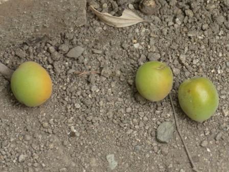 落ちた梅の実 2