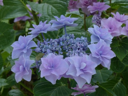 額紫陽花 2