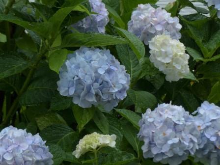 紫陽花 8