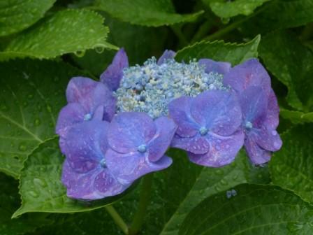 額紫陽花 7