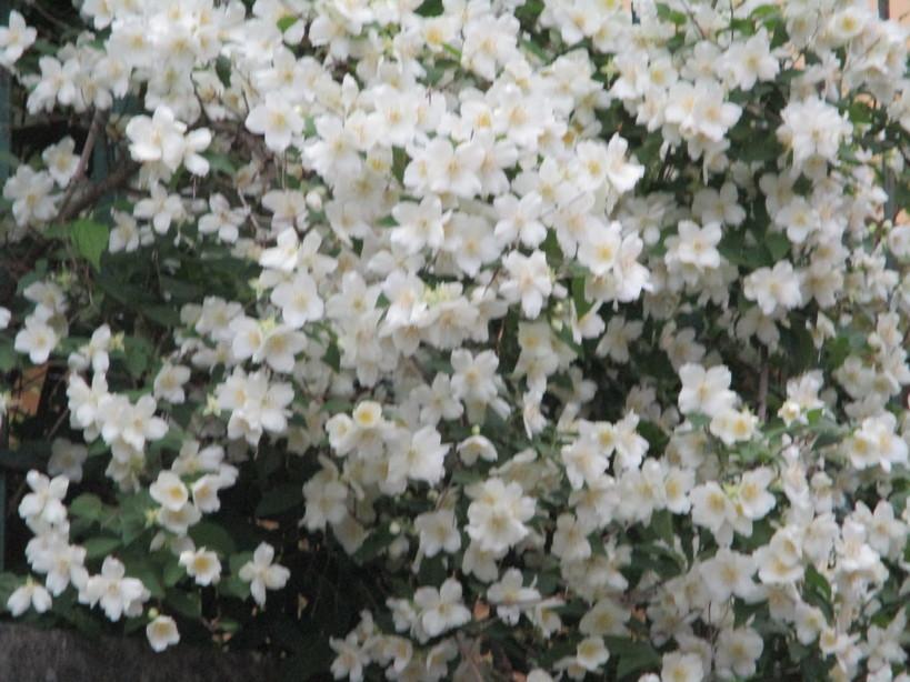 fiore_bianco2_200501