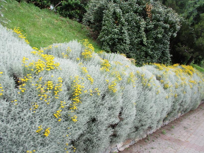 fiori_gialli_in_passeggiata2_210605