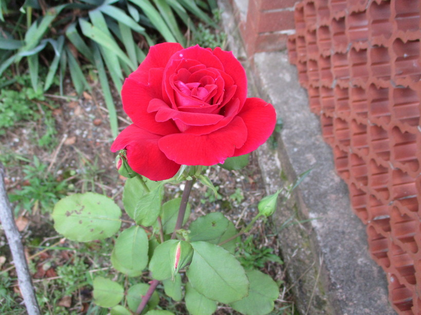 rosa_rossa200614