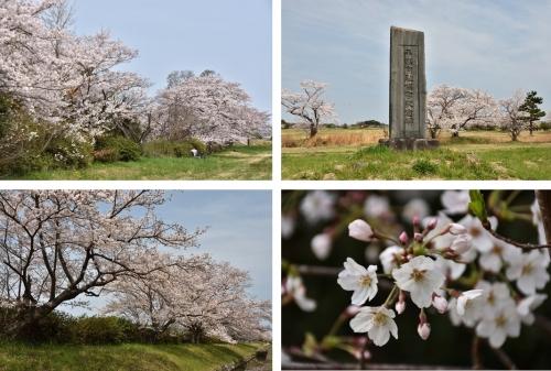 平城宮跡桜2