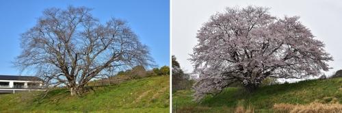 幾坂池桜今姿