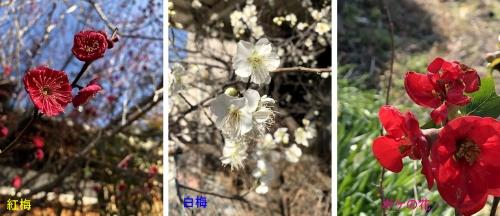 近所の冬花-1