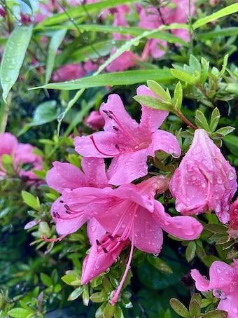 雨に滴るピンクの花