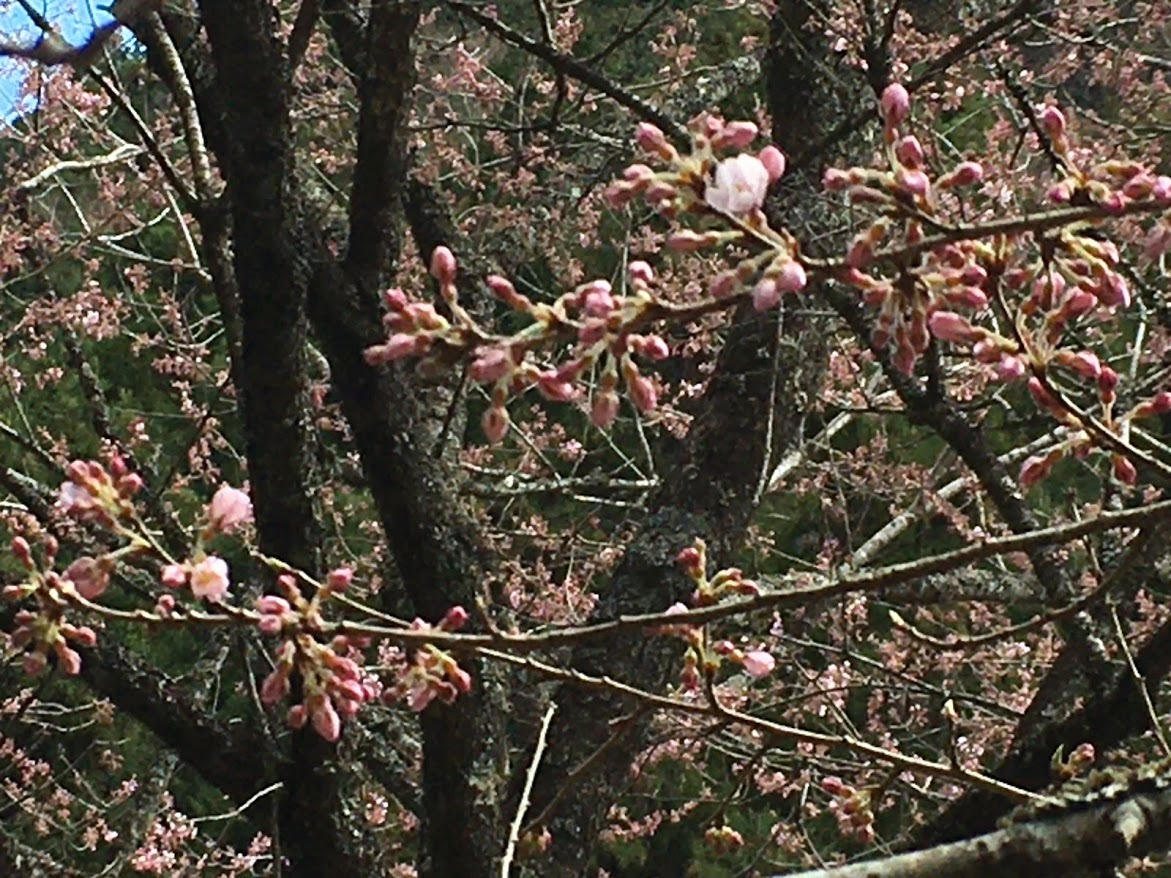 2020妙見山/桜
