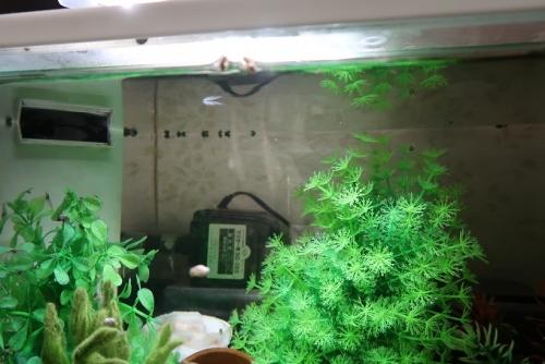 シマドジョウと謎の稚魚