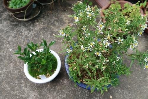 箱根菊と実生りクチナシ