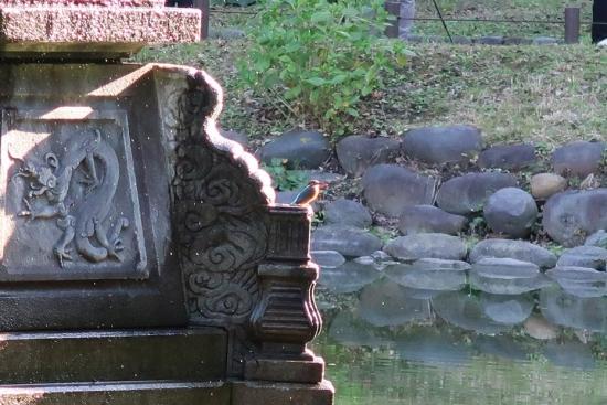 日比谷公園 カワセミ