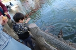 鯉とカモにえさ