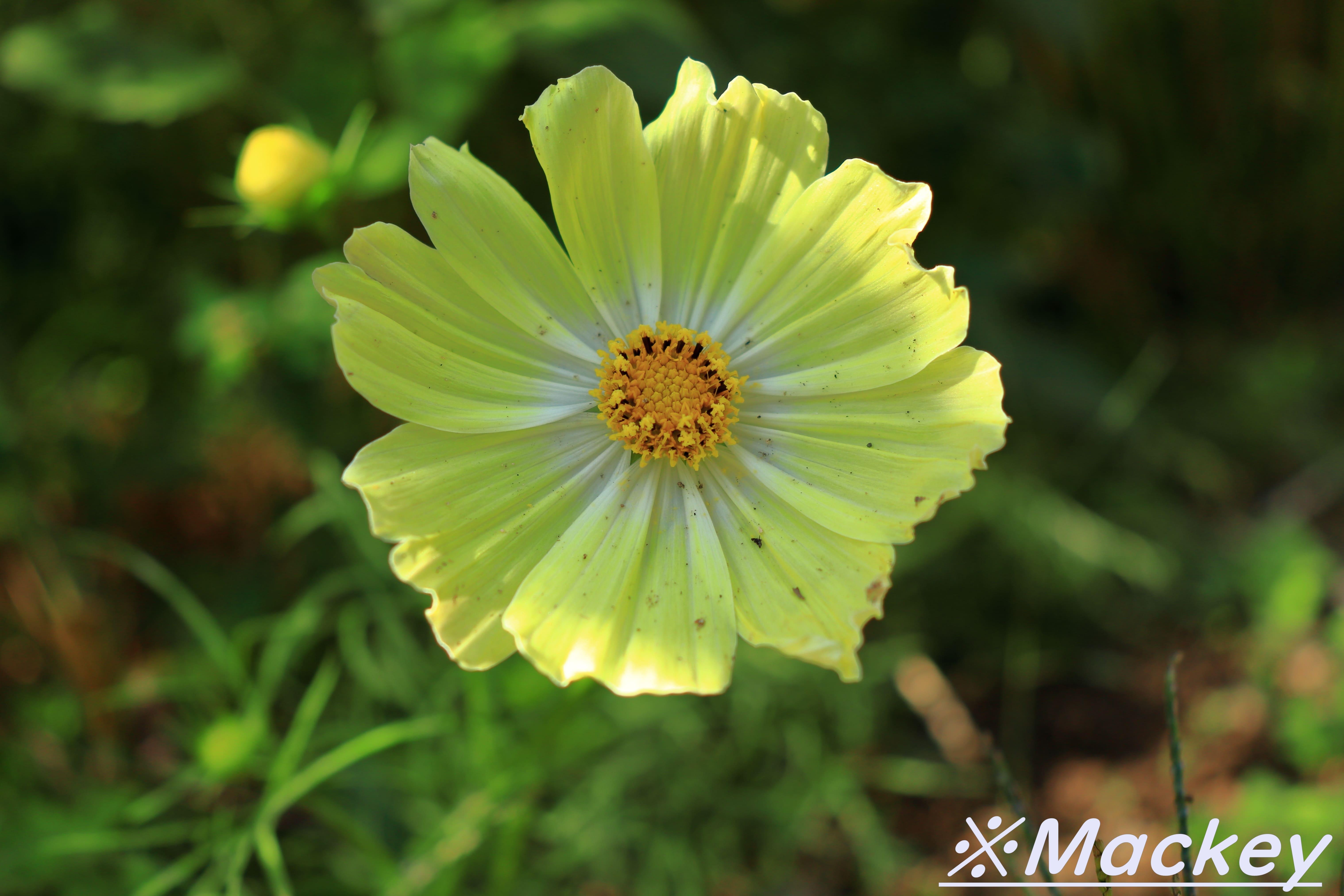 ドイツの森コスモスIMG_6363 (4)