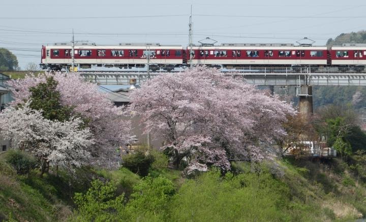 近鉄電車と桜