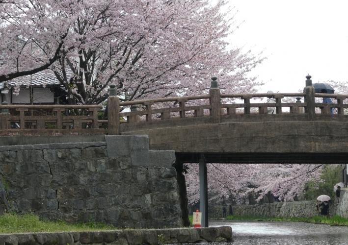 滋賀・八丁堀の桜