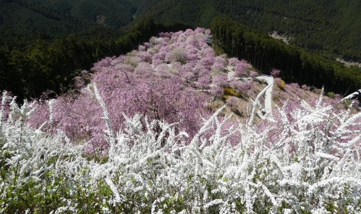高見の郷の桜