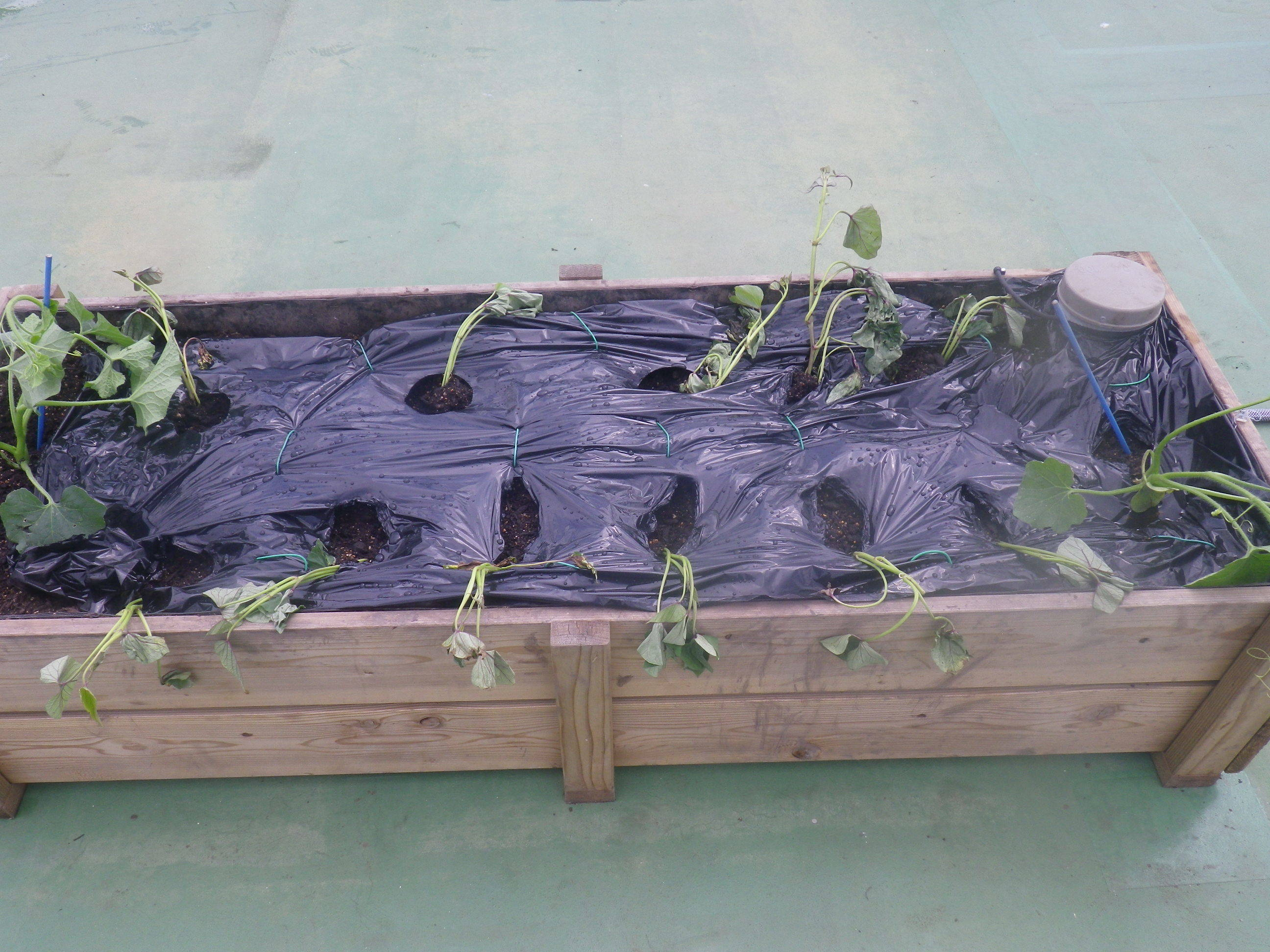 サツマイモ植栽 マルチング 2020