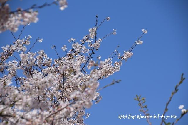 青いお空と桜