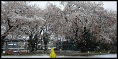 雪桜 2020年3月29(日)