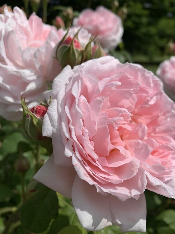 Rose at Regents Park May 2020