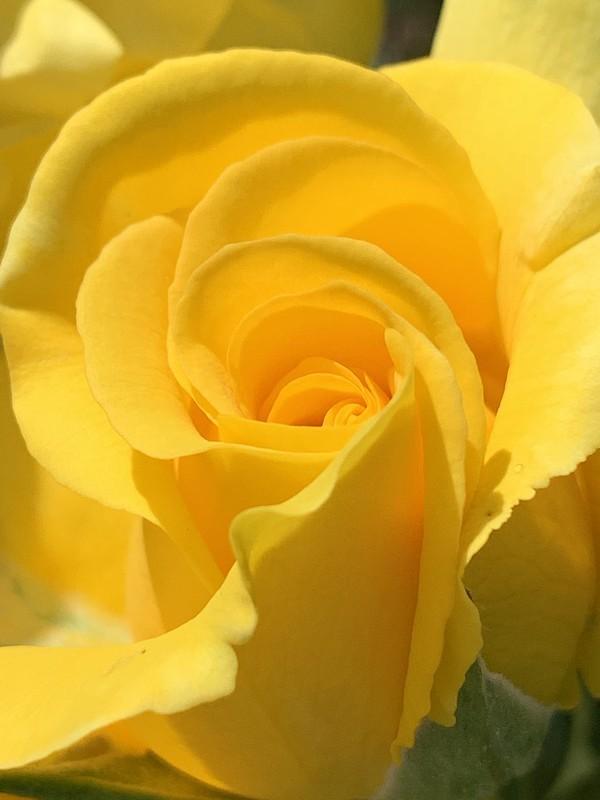 Yellow rose May 2020