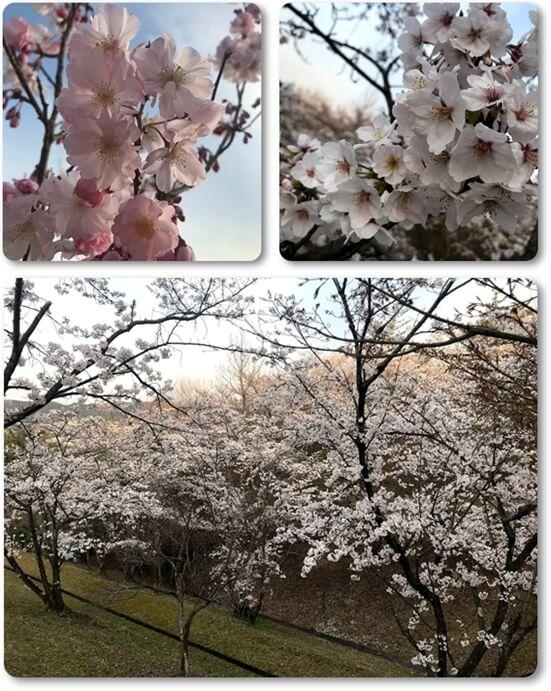 桜04031