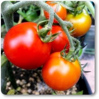 トマト0625