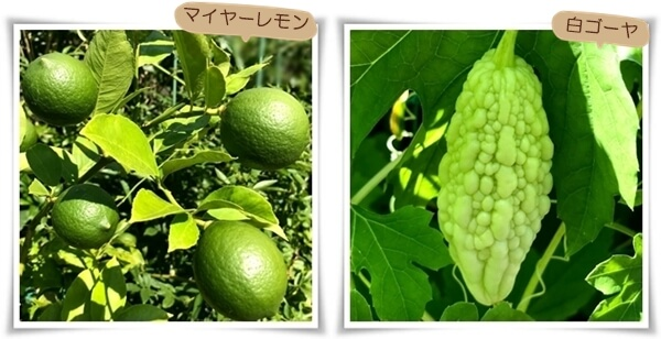 マイヤーレモン0824-tile