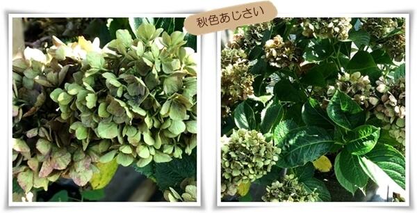 秋色あじさい08241-tile