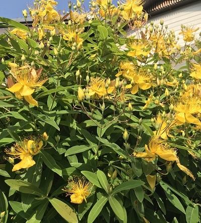 名前の知らない黄色の花